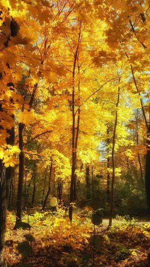 Nature Tree Outdoors Sunlight Beauty In Nature Forest Autumn Лес деревья листья желтые Yellow Leaves прогулка солнечный день Russia Ufa