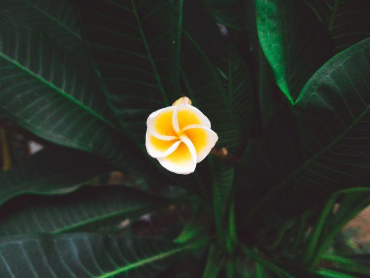 Plumeria Flowers Flowers