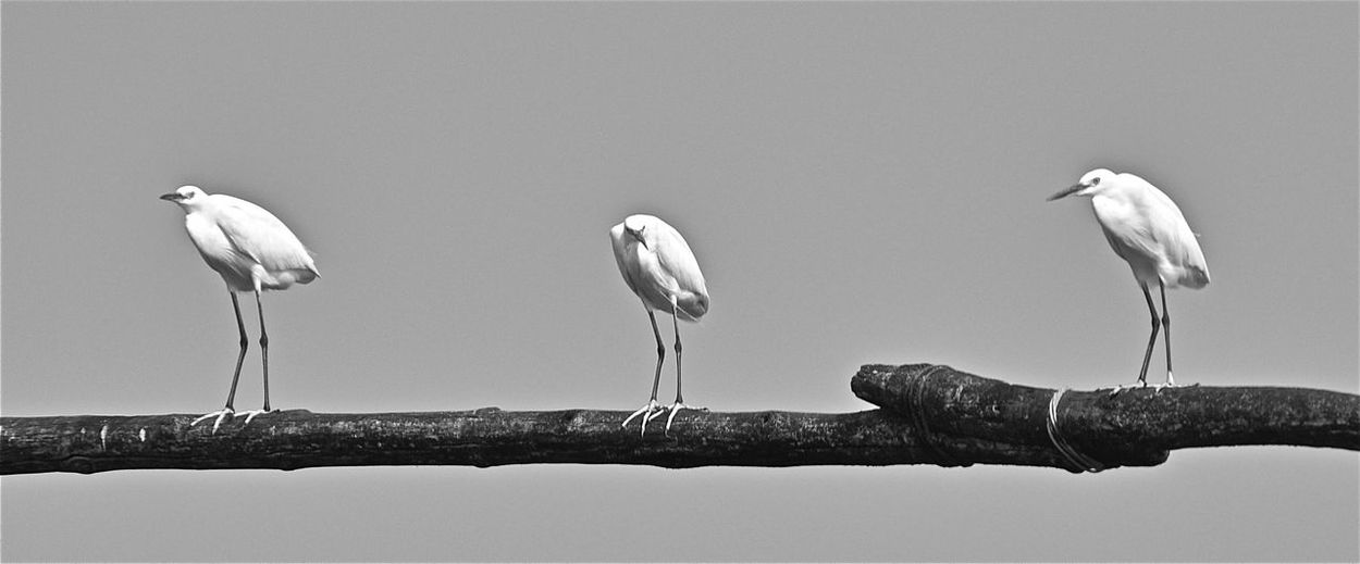 Birds Blackandwhite Perching