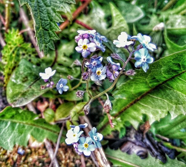 Forgetmenot Forgetmenots Forget-me-not Forget Me Not Flowerporn Flower Collection Flowers, Nature And Beauty Blue Flowers Green Flower Porn Flowers_collection HDR Nature Hdr Flowerporn  Hdr Flower Collection Tiny Flowers Tiny World
