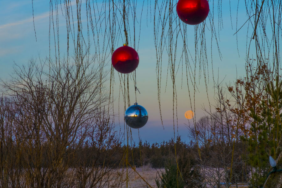 Full Moon still visible early on Christmas Morning Blue Skies Celebration Christmas Clear Sky Decoration Dreamy Ethereal Full Moon Growth Hanging Illuminated Mid-air Multi Colored Ornaments Outdoor Photography Outdoors Peaceful Possibilities  Red Red Balls Rustic Simple Skyscape Soft Palettes Tree