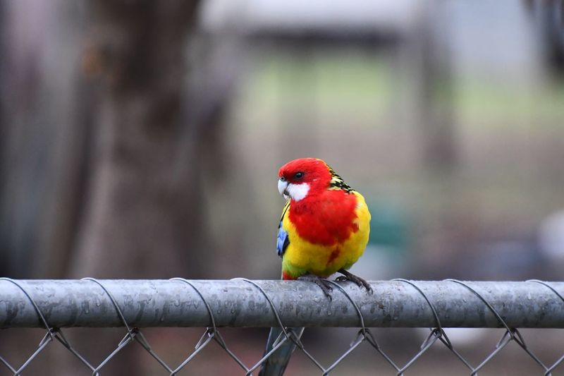 Eastern Rosella Bird Animal Themes Vertebrate Animal Animal Wildlife Animals In The Wild Perching Boundary Close-up Red Barrier Parrot No People Day Fence Focus On Foreground One Animal Multi Colored Outdoors