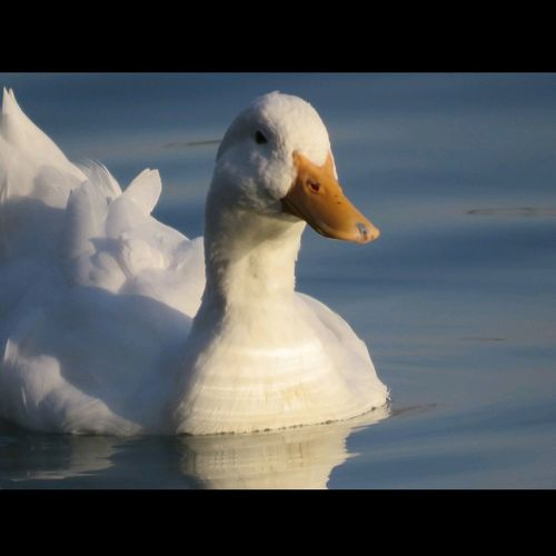duck EyeEmNewHere Duck Beauty In Nature Animal Nature Bird Amazing Blue Wight Wight Duck Sunset Light Sea Animals In The Wild Animal Wildlife Water One Animal Nature Animal Themes Close-up