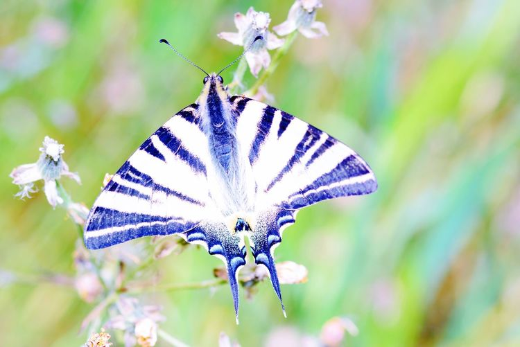 Scarce Swallowtail Butterfly Iphiclides Podalirius Animal Wildlife Animals In The Wild Insect Animal Themes One Animal Beauty In Nature Close-up Butterfly - Insect
