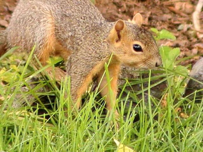 Squirrel in my yard Squirrel Photo Greenery Brown Squirrel