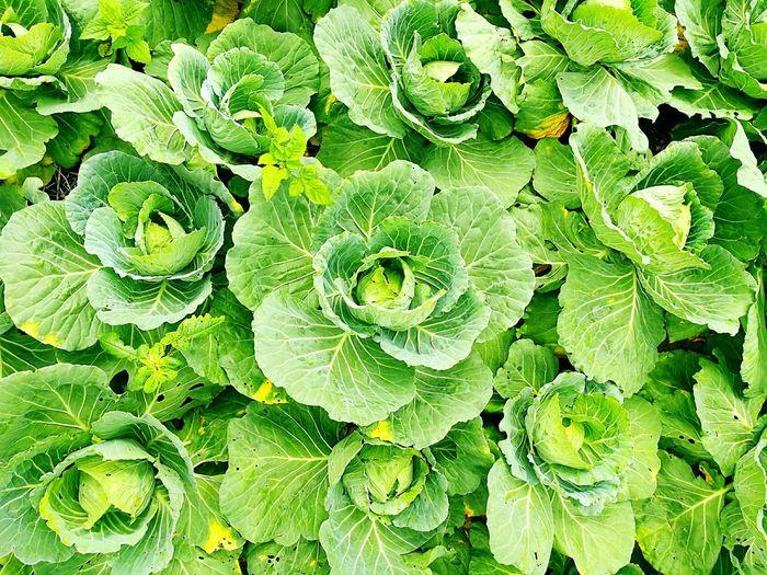 Full frame shot of green cabbages