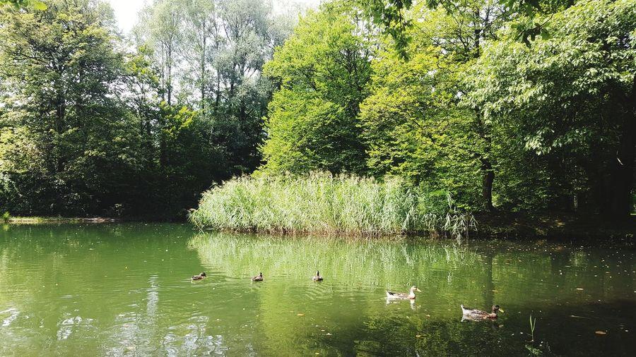 Swan swimming in lake against trees