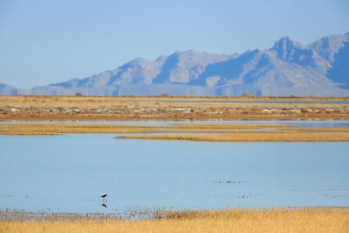 Lone bird Marsh Landscape Lake Outdoors Blue Water Mountain Scenics Animals In The Wild Animal Wildlife Bird Nature Animal Themes Wildlife Refuge Utah Fish Springs National Wildlife Refuge No People Reflection Wetlands Wetland Landscape Rural Scene