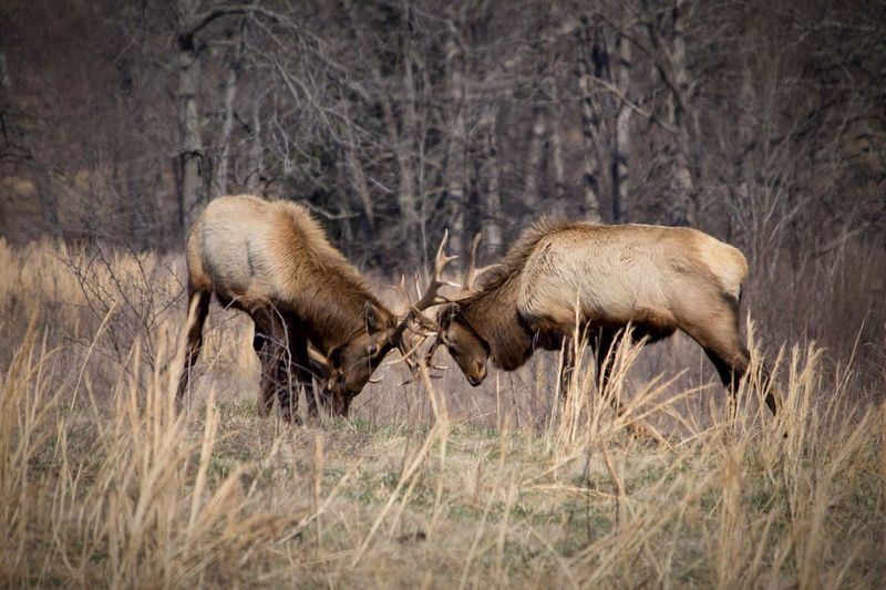 Stags fighting in forest