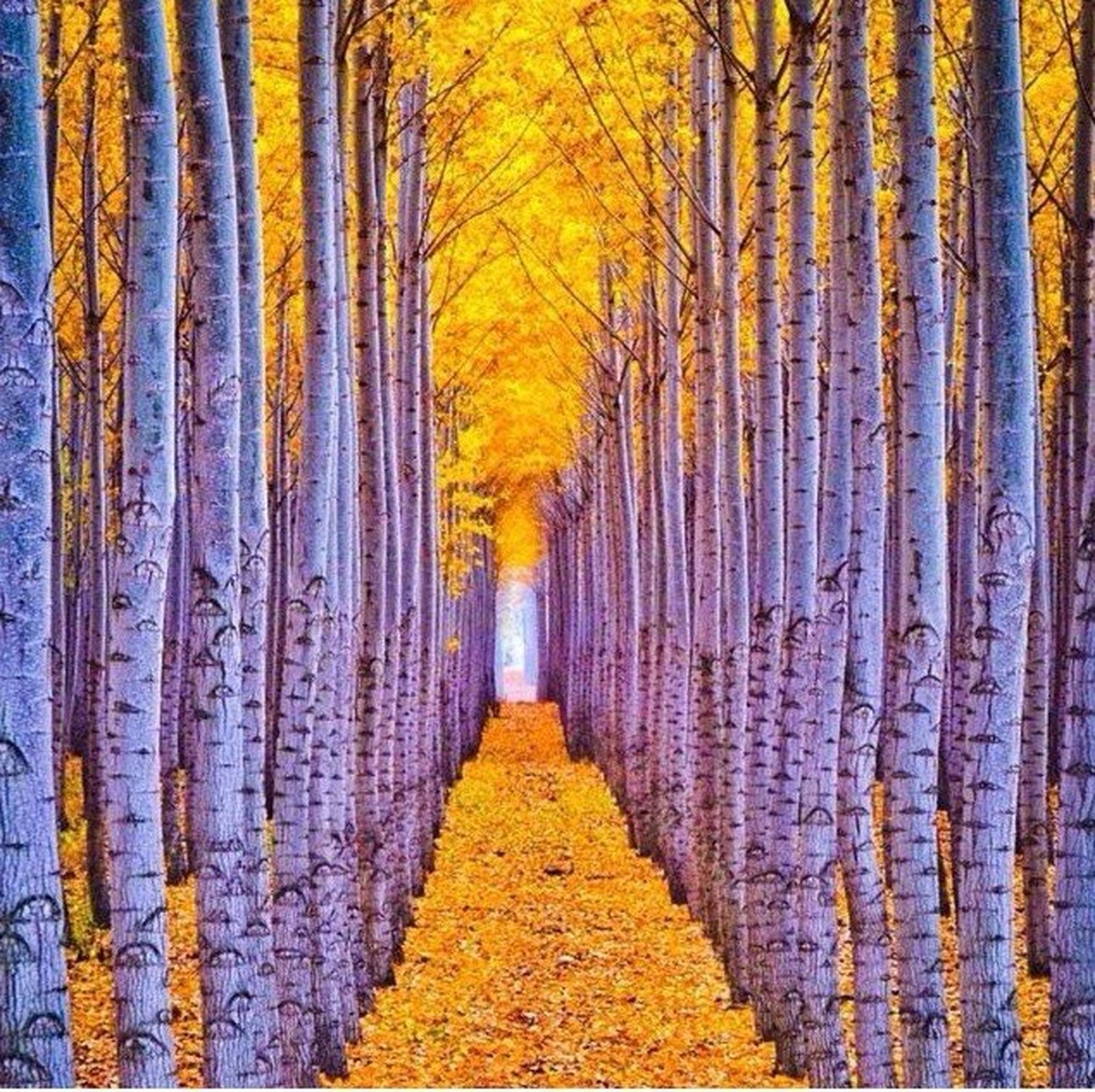 autumn, the way forward, change, yellow, season, tree, diminishing perspective, orange color, vanishing point, in a row, tree trunk, nature, no people, day, tranquility, outdoors, abundance, narrow, footpath, walkway