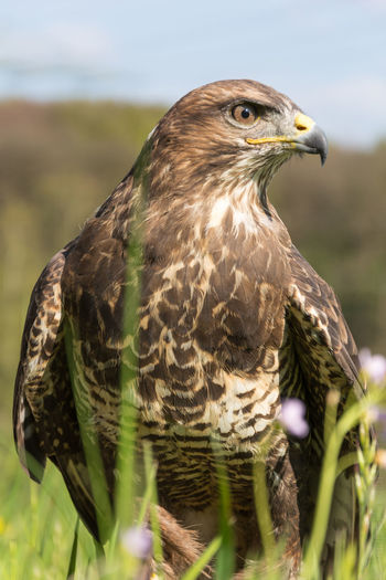 Close-up of buzzard on field