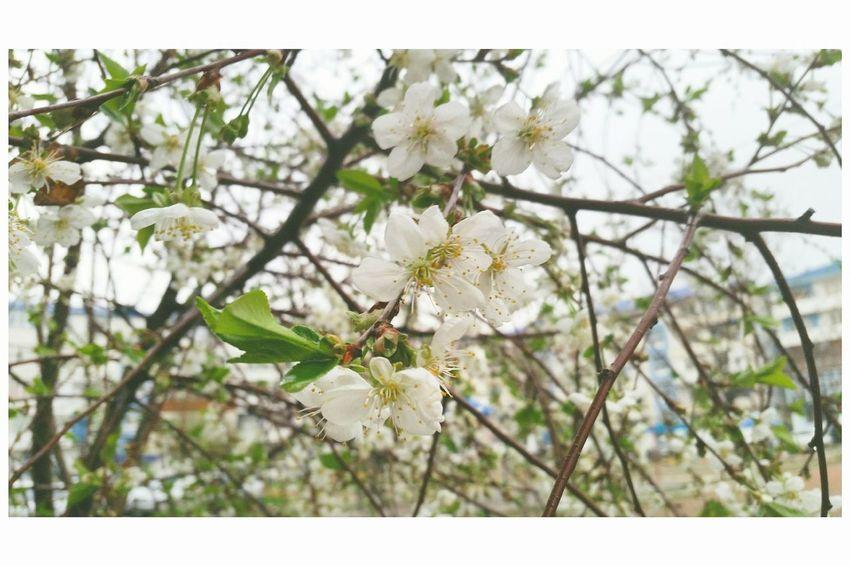 Весна💐🌷🌿 деревья цветы Тараз