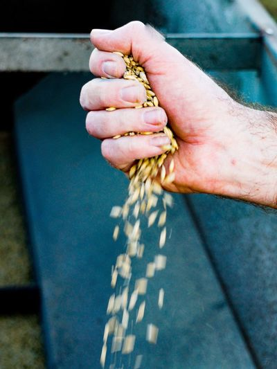 Cropped Hand Of Man Throwing Wheat Grains