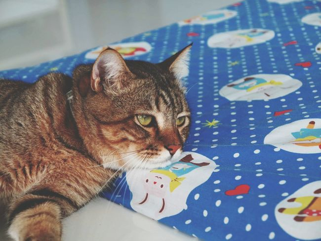Lovelycat Catportrait Cat Eyes Cat Photography Cateyes Animal Eye Cats 🐱 No People Pets One Animal Animal Themes Tabby Cat Domestic Cat Domestic Animals Looking At Camera Ocicat Catface Lazycat Lazycat