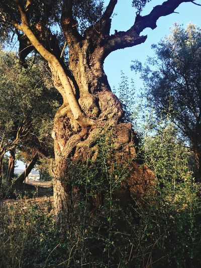 Old 🌲 Ancient Tree Millenary Tree Olive Oliveira Milenar Millenary Olive Tree Oliveira Wood Old Tree Old Tree Plant Low Angle View No People Nature Growth Sky Millenary Tree Olive Oliveira Milenar Millenary Olive Tree Oliveira Wood Old Tree Old Tree Plant Low Angle View No People Nature Growth Sky