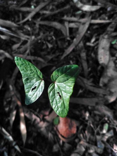 Leaf Beauty In Nature Growth Butterfly leaf has a structure of butterfly ..!! Park Indian Plant Symetry The Week On EyeEm EyeEmNewHere Backgrounds Close-up