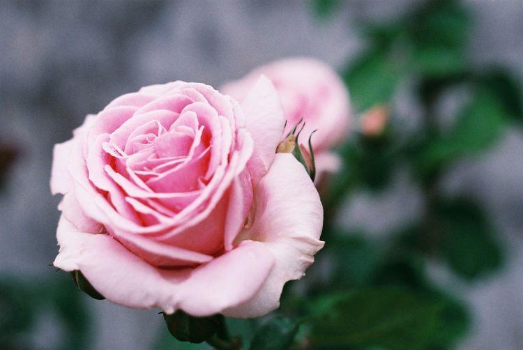 薔薇の花…久しぶりに撮ってみました🌹 Film Film Photography 35mm Film Rosé Pentax Fujifilm Flower Head Flower Peony  Water Pink Color Petal Rose - Flower Close-up Plant