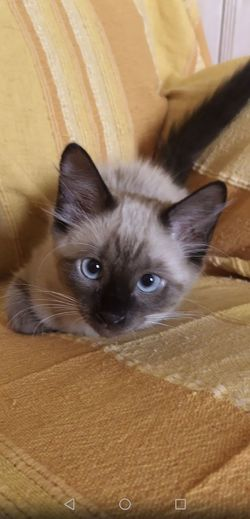 Vanille the cats Chat Vanille Chaton Kitty Yeux Bleux Kitten Pets Portrait Sitting Feline Looking At Camera Domestic Cat Siamese Cat Alertness Cute