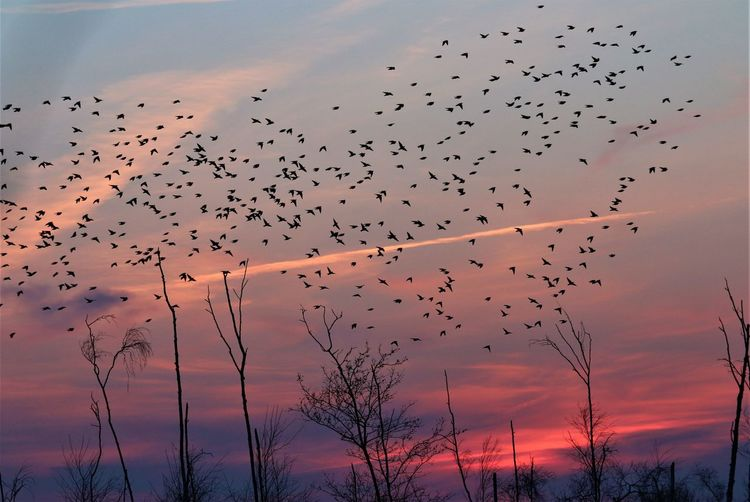 Starlings flying in a sunset lanscape.