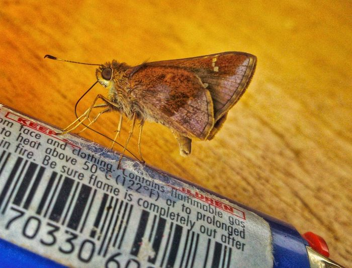 Rethink Things Moth To A Flame Moths Insect Animal Themes One Animal Animal Wildlife Close-up Indoors  Day Lighter Flames Caught In The Act Fuel EyeEm Eyes Brown Color Heat - Temperature Beauty In Nature