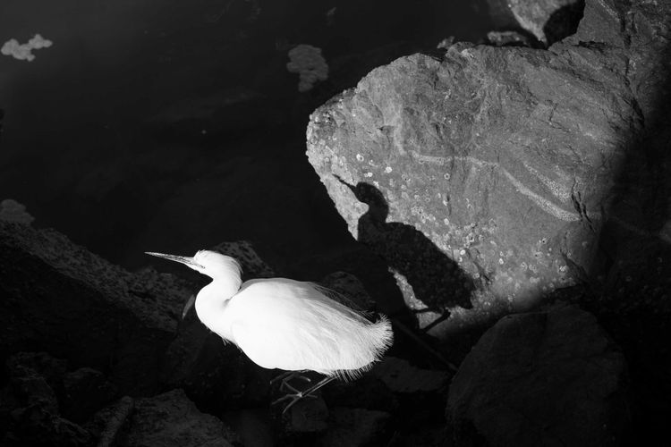 USA Photos Animal Themes Animal Wildlife Animals In The Wild Bird Blackandwhite Califonia Nature One Animal Rock - Object Shadows Water