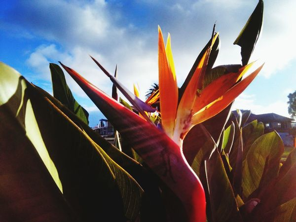 Bird Of Paradise Plant Bird Of Paradise Bird Of Paradise - Plant Bird Of Paradise Bird Of Paradise Flower Plants And Flowers Plants 🌱 Plant Plant Life Plant Photography Plants Collection