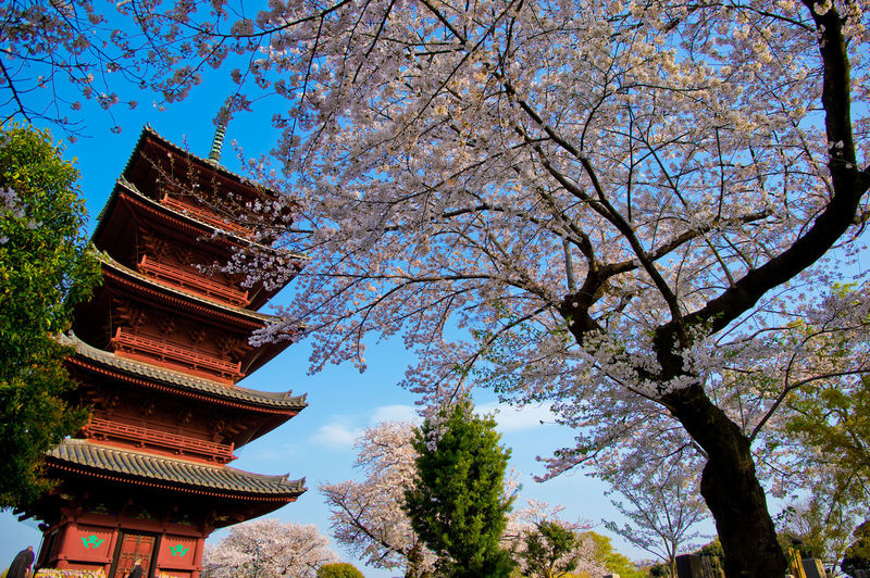Tree Plant Low Angle View Religion Architecture Belief Built Structure Spirituality Sky Place Of Worship Nature Building Exterior Building No People Growth Branch Day Pagoda Outdoors Springtime Shrine Cherry Blossom Cherry Tree Pen Sakura Cherry Blossom Cherry Flower Tokyo Japan Japan Photography Spring Spring Flowers Pentax Temple