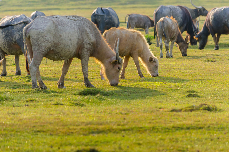 Buffalo EyeEmNewHere Thailand Animal Themes Buffalo, Golden Light, Meadow, Buffalo Herd, Buffalo Is Eating Grass, Buffalo In The Meadow Domestic Animals Field Grass Grazing Green Color Large Group Of Animals Livestock Mammal Nature Outdoors Pasture
