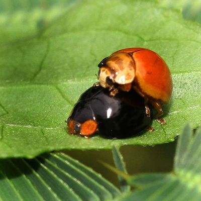 Tak gendoooonngggg... Ladybugs Ladybug Tgif_macro Tgif_insects global_nature_macro kings_insects macro_x