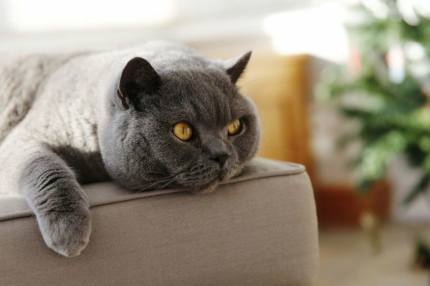 Meatball The Cat Cat Cat Lovers Catsagram British Shorthair British Blue Animals