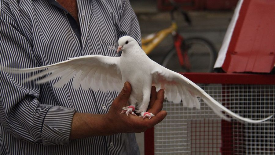 Midsection of man holding dove