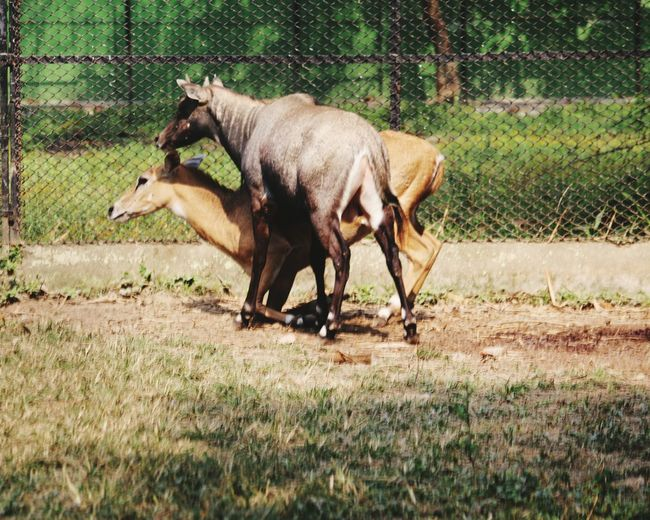 Up! Get up! Now!! EyeEm Selects Animal Themes Mammal Domestic Animals Livestock Field Nature Animal Wildlife Beauty In Nature Wildlife Photography Kolkata Zoo Check This Out Wildlife & Nature No People Side Portrait Nilgai