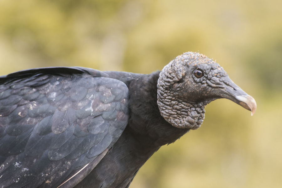 Vulture Animal Animal Photography Animal Themes Animal Wildlife Animals In The Wild Animals In The Wild Bird Black Day No People One Animal Outdoors Urubu Vulture Vultures Observing
