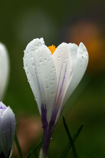 Flower Flowering Plant Vulnerability  Freshness Fragility Beauty In Nature Plant Growth Petal Close-up Flower Head Drop White Color Wet Inflorescence Focus On Foreground Water No People Nature Outdoors Pollen Springtime Crocus Softness RainDrop