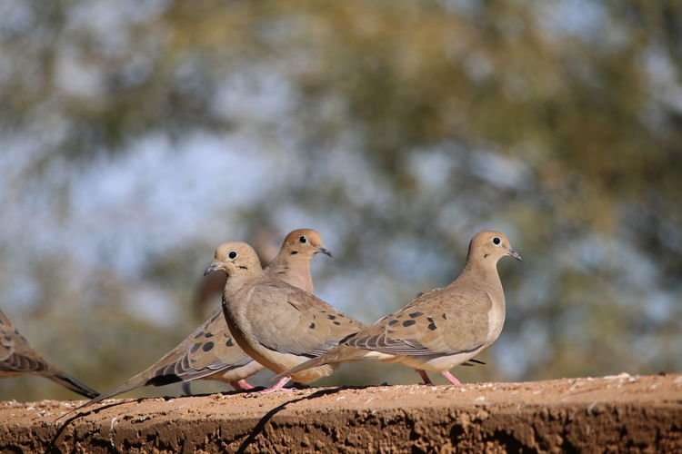 Mourning doves perching on retaining wall
