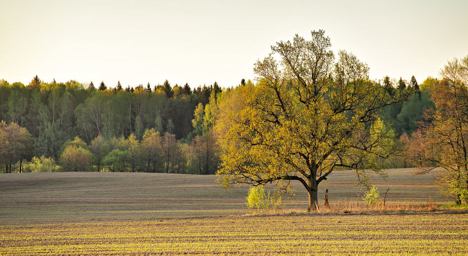Trees against yellow sky