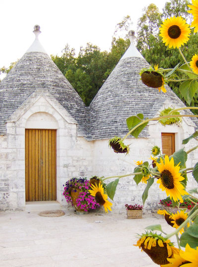 Sunflowers with trulli in spring, Puglia, Italy Old Houses Of Philippines Puglia Roof Sunflower Architecture Building Exterior Built Structure Flower Flower Head House Italy Nature Old Houses Outdoors Plant Spring Summer Tree Trulli Trullo Valle D'itria Yellow