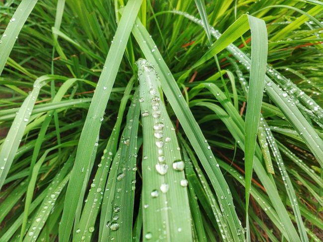 After the rain.. Due Leaf Nature Drop Green Color Freshness EyeEmNewHere