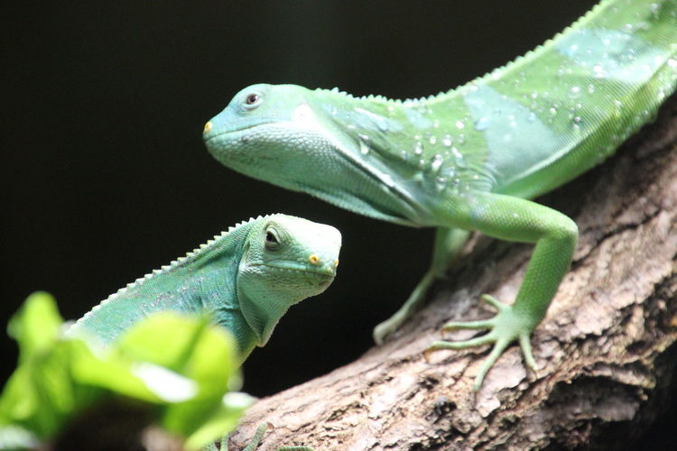 Animal Themes Bearded Dragon Chameleon Close-up Green Color Iguana Lizard Nature No People Reptile