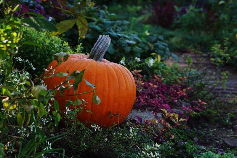 Pumpkin Halloween Orange Color Growth No People Vegetable Outdoors Day Nature Autumn Freshness Close-up Jack O Lantern EyeEm Nature Lover Botany