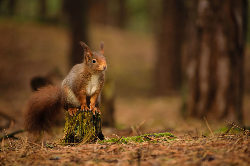 Red Squirrel Nature Nature On Your Doorstep Red Squirrel Squirrel Squirrel Park WoodLand Animal Themes Animal Wildlife Animals In The Wild Close-up Cute Day Forest Formby Furry Mammal Nature No People One Animal Outdoors Rodent Squirrel