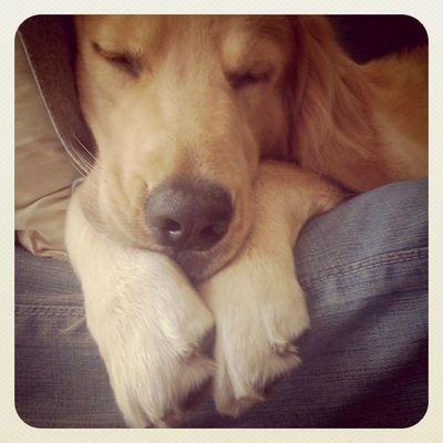 Still dreaming Goldenretriever Hoykong Dog