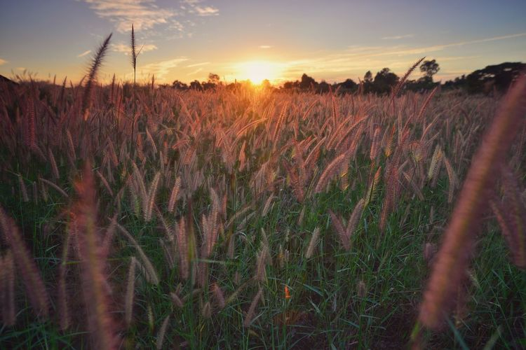 Scenic view of wheat field against sky at sunset