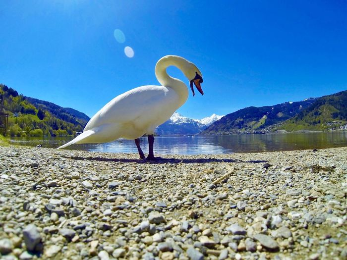 Schwan Sunlight Sun Lake Blue Lake Hillscape Hills Landscape Swan Close Up Animal Photography Swan Animal Themes Animal Vertebrate Animals In The Wild Animal Wildlife One Animal Bird Sky Nature Water Land No People Solid Day Beach Blue Sunlight Rock Clear Sky Pebble