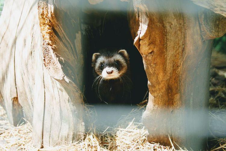 Close-up of alert ferret
