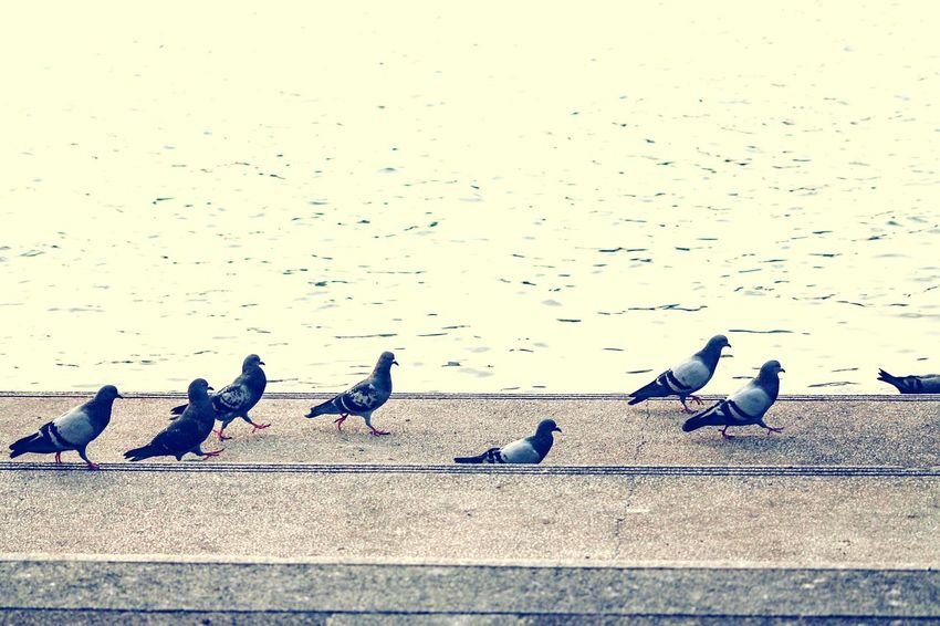 Pattern, Texture, Shape And Form Copy Space Minimalism Street Photography Bird Pigeons In A Row In A Row No People Perching Backgrounds Outdoors The Street Photographer - 2017 EyeEm Awards Walking Birds Walking The Line BYOPaper!