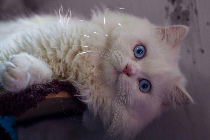 Persian cat,