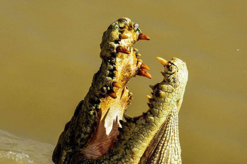 ❤Australia NT❤ Crocodiles Wildlife Sharp Teeth Green Color Wildlife & Nature