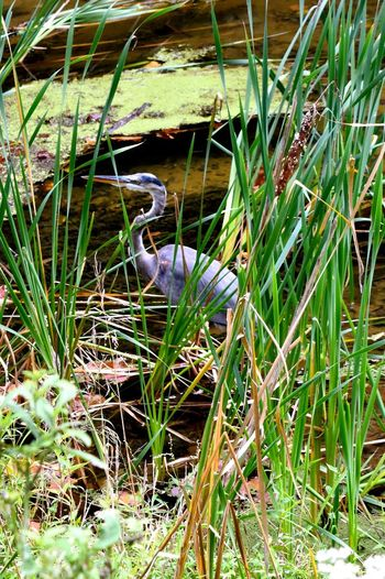 Heron Bird Herons Animal Themes Animal Wildlife Animals In The Wild Beauty In Nature Bird Grass Heron Lake Nature No People One Animal Outdoors Photographer Photography Plant Water