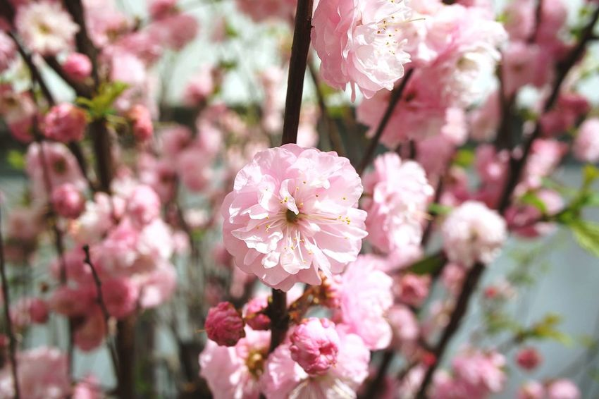 beautiful spring time Germany Outdoors No People Selective Focus Beauty In Nature Backgrounds Background Flowers Pink Flowers Spring Is In The Air Background For Quotes Flower Head Flower Tree Springtime Pink Color Branch Petal Blossom Botany Close-up Pollen Blooming EyeEmNewHere
